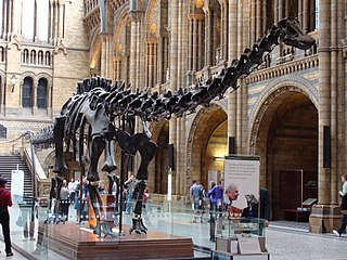 plaster cast in London of a fossil Diplodocus skeleton