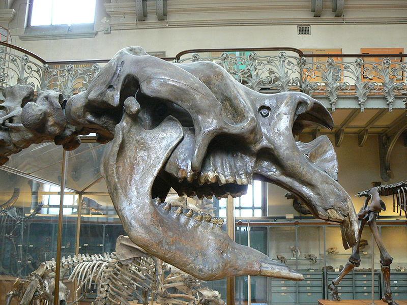http://upload.wikimedia.org/wikipedia/commons/thumb/c/cf/Diprotodon_australis_skull.JPG/800px-Diprotodon_australis_skull.JPG