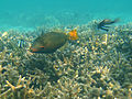 Diving Maldives, 2009 Triggerfishes.jpg