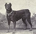 Dobermann Pinscher from 1915.JPG