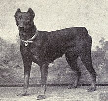 Dobermann Wikipedia