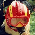 Dog fire fighter Io.jpg