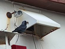 Jackdaw on the ledge of a covered ventilation system