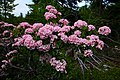 Dolly sods mountain flowers-pub13 - West Virginia - ForestWander.jpg