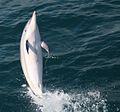 Dolphin wikitravel.jpg