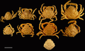 Dorsal views of modern specimens and a single fossil specimen of Damithrax spp., all from Florida, USA.png