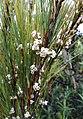 Dracophyllum filifolium.jpg