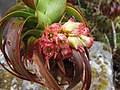 Dracophyllum menziesii flowers.jpg