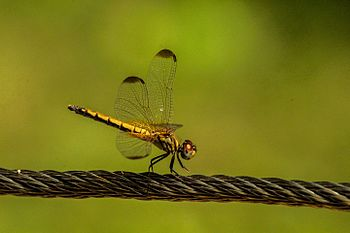 Dragonfly in the Delhi Zoo.jpg