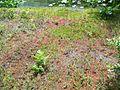 Drosera rotundifolia PinhookBog(3).jpg