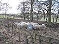 Dry sheep, Knock - geograph.org.uk - 1175816.jpg