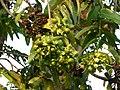 Duabanga grandiflora, AJT Johnsingh .P1020034.JPG