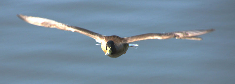 File:Duck in Flight (5646466131).jpg