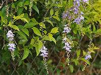 Duranta repens (Golden Dew Drops) W IMG 9162.jpg