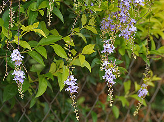 Verbenaceae - Golden dew drops (Duranta erecta)