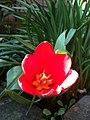 Dwarf Tulip Wilsonia (6935133849).jpg