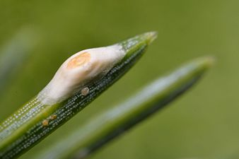 Dynaspidiotus regnieri (31330824163).jpg