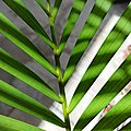 Dypsis lutescens (Family Arecaceae) - leaves close-up.jpg