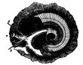 EB1911-Gastropoda 24.png