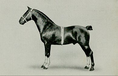 EB1911 Horse - hackney stallion.jpg