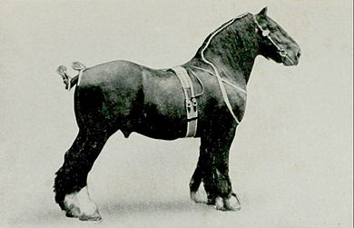EB1911 Horse - shire stallion.jpg
