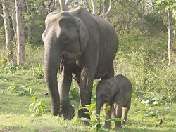 ELEPHANT IN MUDUMALAI.jpg