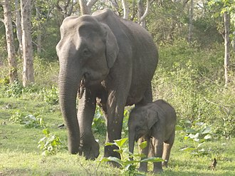Asian elephant - A female Asian elephant with calf in Mudumalai National Park, India