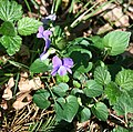 Early Dog-violet, Viola reichenbachiana - geograph.org.uk - 412349.jpg