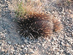 Echidna ground.jpg
