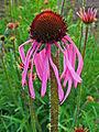 Echinacea pallida 002.JPG
