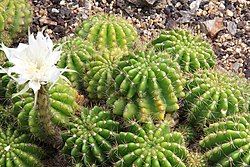 Echinopsis calochlora pm.jpg