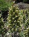 Echiumonosmifolium.jpg