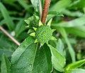 Eclipta alba (Asteraceae) 01.jpg