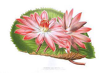 Eduard Ortgies - Nymphaea hybrid ortgiesiano-rubra  Flore des Serres et des Jardins de l'Europe