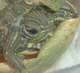 Egg tooth - A red-eared slider hatchling with an egg tooth.