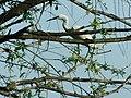 Egretta garzetta - mala bela čaplja.jpg