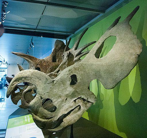 Einiosaurus skull