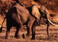 Eléphants de la Forêt de Ziama.png