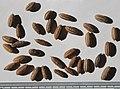 Elaeagnus angustifolia seeds, by Omar Hoftun.jpg