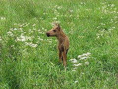 Elchkalb im Gras.jpg