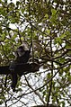 Electrocuted lion-tailed macaque infant in Valparai DSC 2611.jpg
