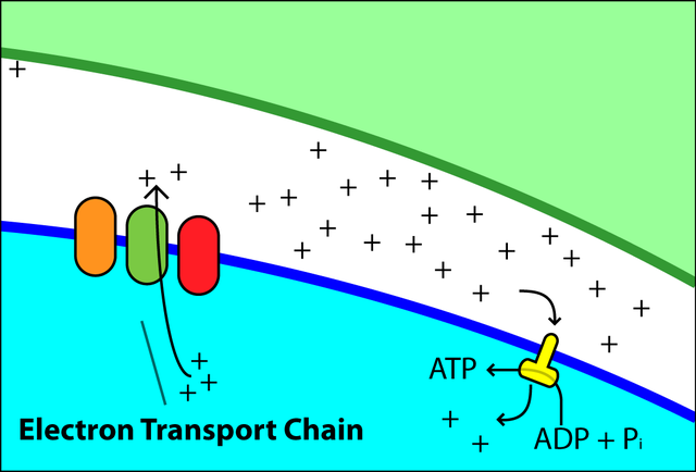 Fileelectron Transport Chain Simpleg Wikimedia Commons
