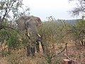 Elephant between bushes.jpg