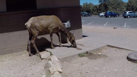 An elk searching for water at Grand Canyon National Park in 2018. Elk at Grand Canyon.png