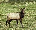 Elk stag (8508342021).jpg