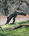 Elusive wooden lizard monster. - panoramio.jpg