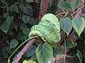 Emerald Tree Boa (7987432759).jpg