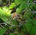 Epimedium pubescens 3.jpg