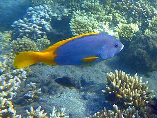 <i>Epinephelus flavocaeruleus</i> Species of fish