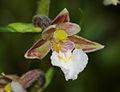 Epipactis palustris - flower.jpg